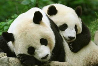 Panda Center