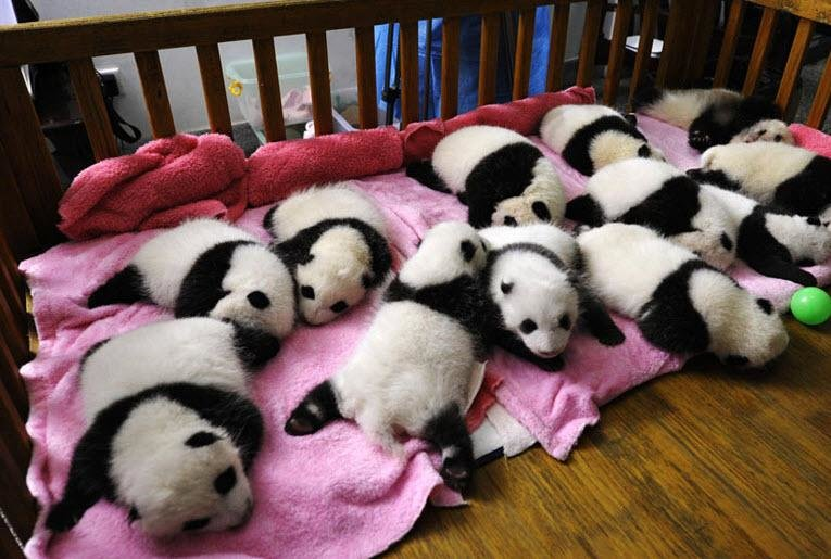 Chengdu and Bifengxia Panda Breeding Center Volunteer Experience