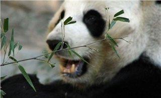 Chengdu Panda & Skiing Tour