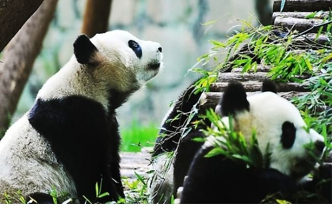 Panda Tour & Chengdu Highlights