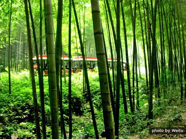 Bamboo Sea
