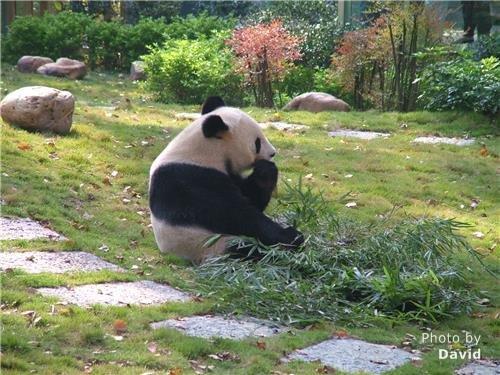 panda in Seven Star Park