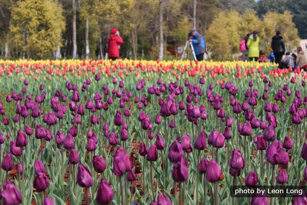 Tulip Expo in Guilin Zizhou Park