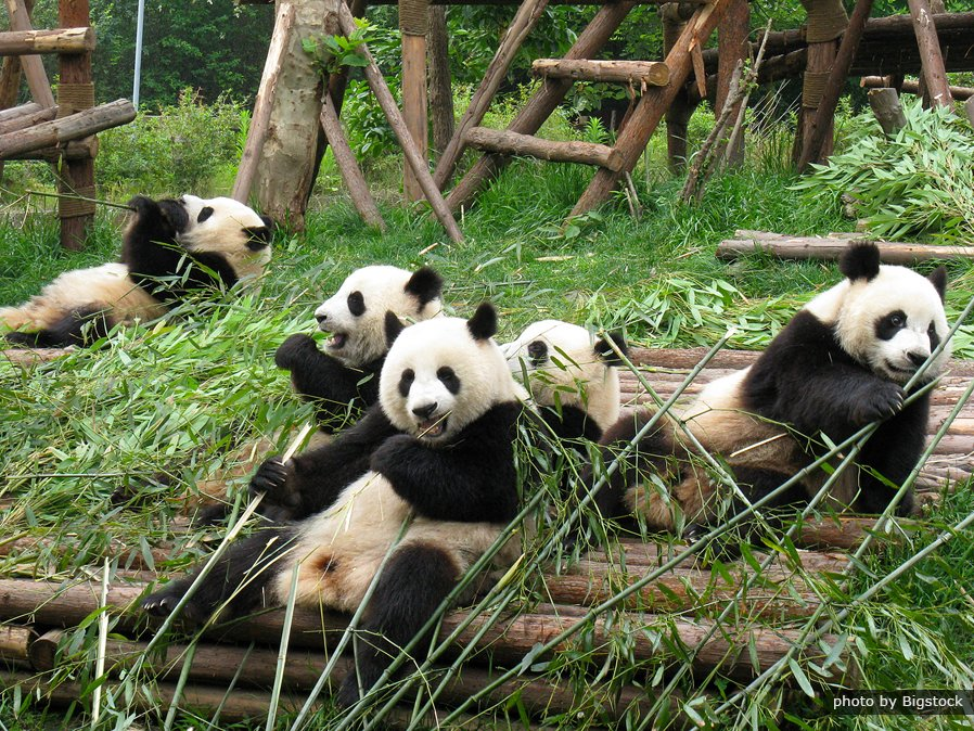 Where The Word Panda Comes From Chinese Panda