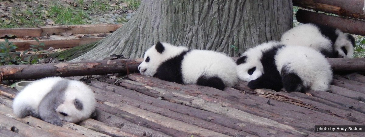 Giant Panda & Chengdu Highlights Tour
